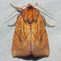 9483 Sensitive Fern Borer - Papaipema inquaesita