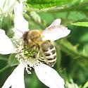 Apidae 7.11.2009 01a - Apis mellifera