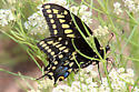 Papilio... indra? - Papilio machaon