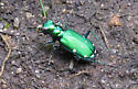 Six Spotted Tiger Beetle? - Massachusetts - Cicindela sexguttata