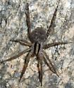 Sonoran desert spider - Camptocosa