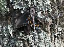 Gray Petaltail Dragonfly w/Prey - Tachopteryx thoreyi