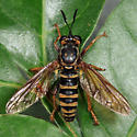 Robber Fly - Ceraturgus fasciatus