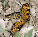Mating Tiny Checkerspots - Microtia dymas - male - female