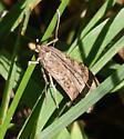 5156 Lucerne Moth - Nomophila nearctica