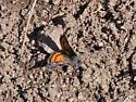 Annaphila danistica