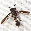 Syrphid Fly - Rhopalosyrphus guentherii - male