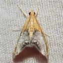 4895 Sooty-winged Chalcoela - Chalcoela iphitalis