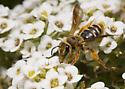 Andrena? - Andrena prunorum - female