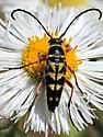 Beetle - Typocerus zebra