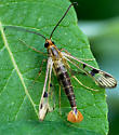 Interesting insect - Synanthedon acerni