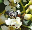 Backyard visitor - Xanthochroa centralis