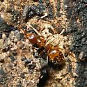pyramid ant (not crazy ant) - Dorymyrmex bureni