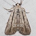 10036 - Catabenoides terminellus