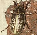 Species Polyphylla variolosa - Variegated June Beetle - Polyphylla