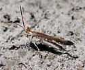Longhorn Band-wing Grasshopper - Psinidia fenestralis - male