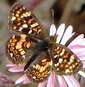 which Euphydryas ? - Phyciodes pulchella - male