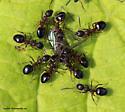 Ants - Dolichoderus plagiatus