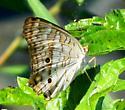 Brown and white butterfly (White Peacock - Anartia jatrophae) - Anartia jatrophae