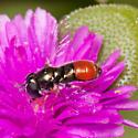 Fly - Paragus haemorrhous