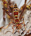 Paper Wasps - Polistes exclamans - female