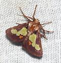 oak-slug cat - Euclea nanina