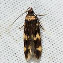 Four-spotted Yellowneck - Oegoconia novimundi