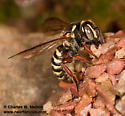 Bee at nest - Dianthidium arizonicum - female