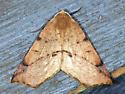 Geometrid - Caripeta triangulata