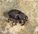 weevil - Anchonus suillus