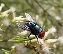 maybe Chrysomya megacephala ? - Chrysomya megacephala - male