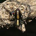 Ant-mimic Spider - Castianeira