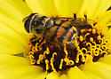 Syrphid on Bush Sunflower - Copestylum avidum - female
