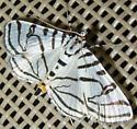 Zebra Conchylodes - Conchylodes ovulalis