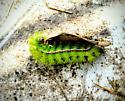 Io moth caterpillar - Automeris io
