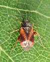 Mirid - Atractotomus rubidus