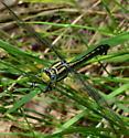 Clubtail dagonfly - Gomphurus fraternus