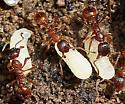Colony of Small Ants - Myrmica rubra