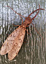 Dobsonfly - Corydalus - male