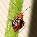 bug nymph - Poecilocapsus lineatus