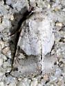 moth - Ulolonche disticha