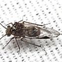 Common Barklouse - Metylophorus novaescotiae - male