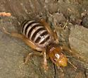 Jerusalem cricket from montane southern Sierra Nevada - Stenopelmatus