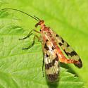 Scorpionfly - Panorpa mirabilis - female