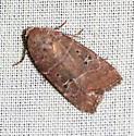Moth - Elaphria grata