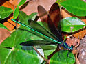 ? - Calopteryx maculata - male