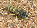Sand Wasp - Microbembex monodonta