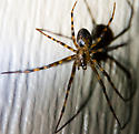 brown spider - Meta ovalis