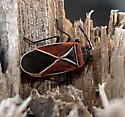 Neacoryphus bicrucis - Whitecrossed Seed Bug - Neacoryphus bicrucis