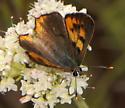 Hermes Copper - Lycaena hermes